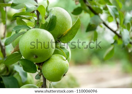Green apples on a branch ready to be harvested, outdoors, selective focus - stock photo