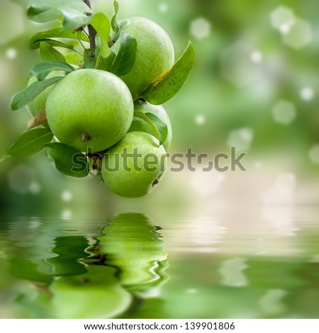 Green apples on a branch ready to be harvested reflection in water, outdoors, selective focus - stock photo