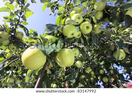 green apples on a tree in orchard. - stock photo