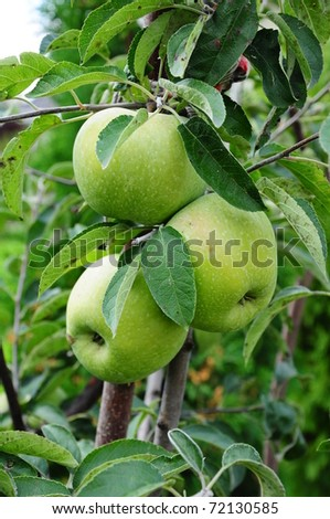 green apples on the tree - stock photo