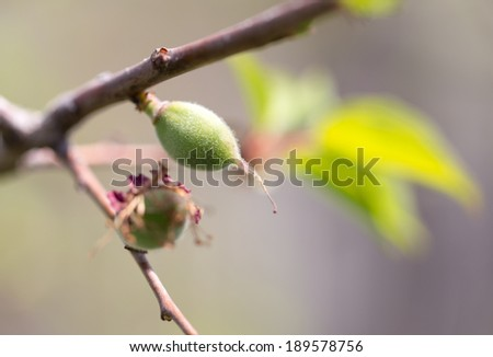 green apricots on the tree in nature