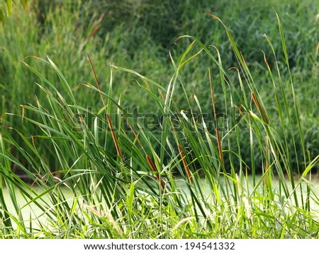 green asian tropical wetland water plants, Typha angustifolia in a natural pond full of mosquito fern, blowing in the wind reflecting sunlight on their long leaves showing pure and free emotion - stock photo