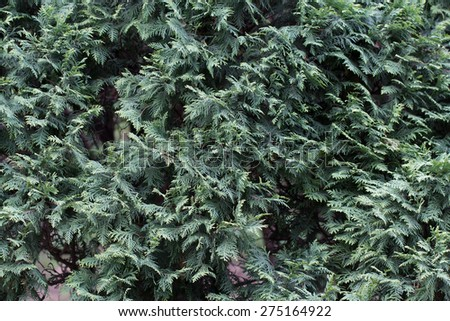 Green background made of thuja branches - stock photo