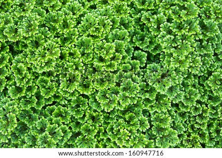 Green background of the ground cover plants - stock photo
