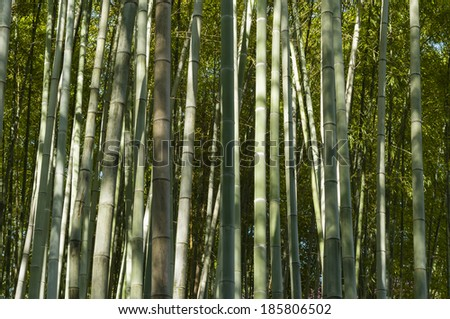 Green bamboo forest in Summer time