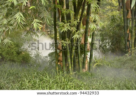green bamboo groves in the mist