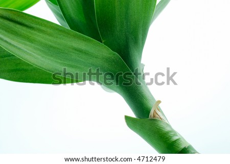 Green bamboo shoot over white background - stock photo
