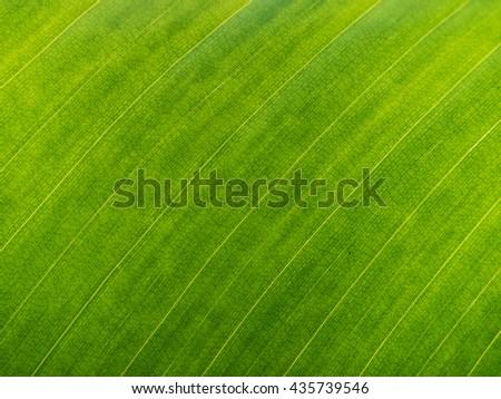 green banana leaf close up - stock photo
