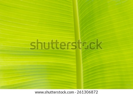 Green banana leaf for background - stock photo