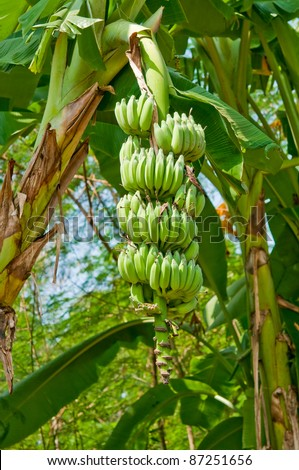 green banana on tree