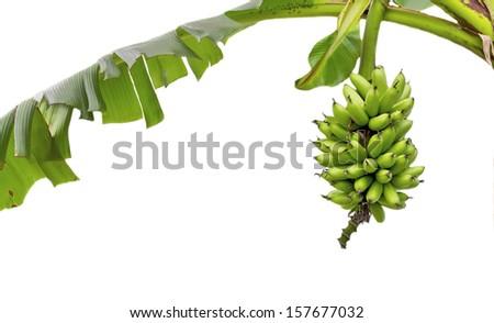 Green Bananas isolated on white - stock photo