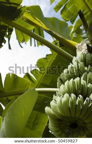 green bananas on the tree - stock photo