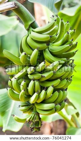 green bananas palma tree at Hallim Park of Jeju island Korea - stock photo