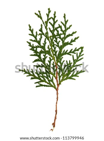 green banch isolated on white background, with clipping path - stock photo