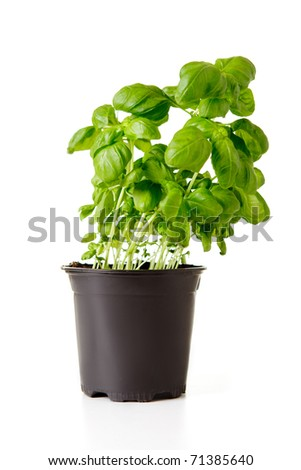Green basil in black plastic pot isolated on white. - stock photo
