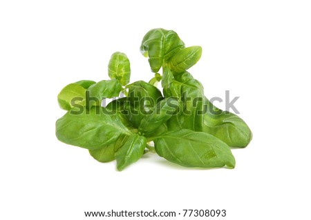 Green basil leaves bunch on white background - stock photo