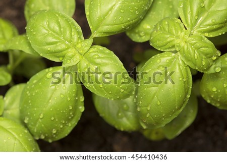 Green basil leaves close up
