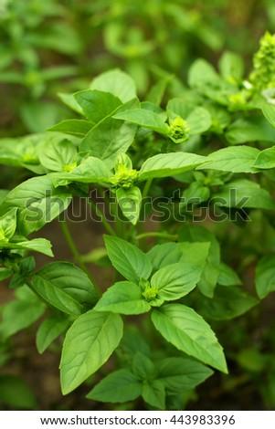 green Basil leaves in the garden - stock photo