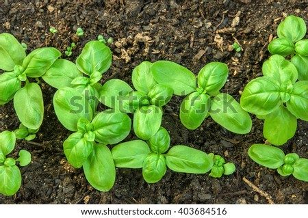 Green basil seedlings growing on the vegetable bed. - stock photo