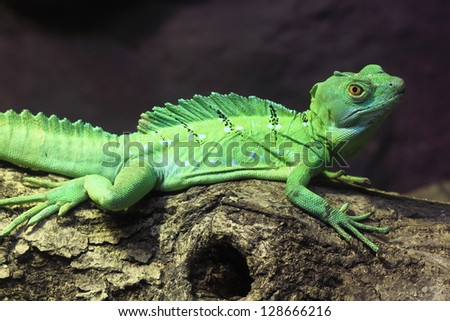 Green Basilisk Lizard - stock photo