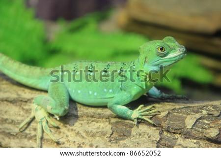 Green Basilisk Lizard (Basiliscus plumifrons) on the log - stock photo