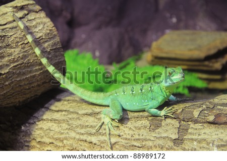 Green Basilisk Lizard (Basiliscus plumifrons) stand  on the log. - stock photo