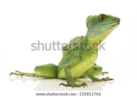 Green basilisks (Basiliscus plumifrons) isolated on white background.