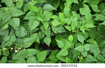 Green bean leaves and flowers