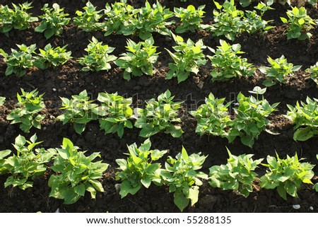 Green bean plants growing on field rows - stock photo