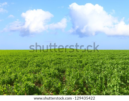 Green beans field under the bright shining sky - stock photo