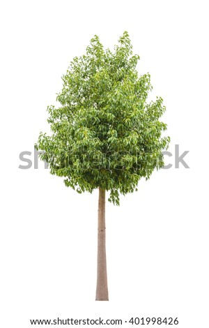Green beautiful and young  ficus tree isolated on white background - stock photo