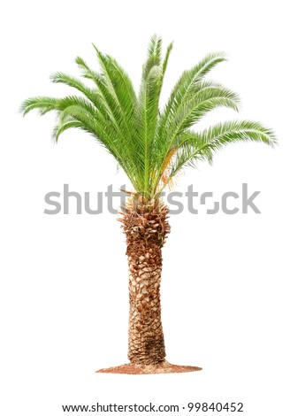 Green beautiful palm tree isolated on white background - stock photo