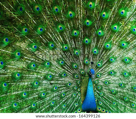 Green beautiful peacock - stock photo