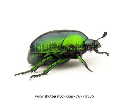 Green Bedbug on white background.Green beetle on white background. - stock photo