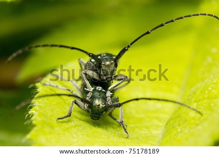 green bedbugs sitting one on another - stock photo