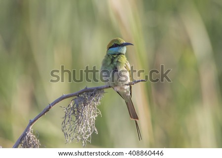 Green Bee-Eater Isolated  - stock photo