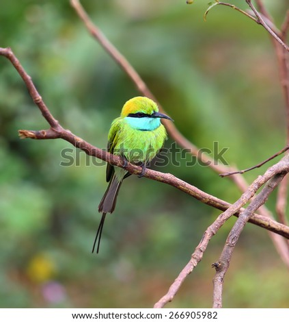 Green Bee-eater (Merops orientalis) bird on branch in Sri Lanka - stock photo