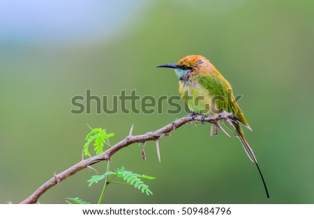 Green Bee - eater or little green bee-eater (Merops orientalis), beautiful bird on branch with green background.