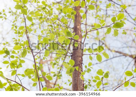 Green beech tree with fresh leaves in a forest at springtime - stock photo