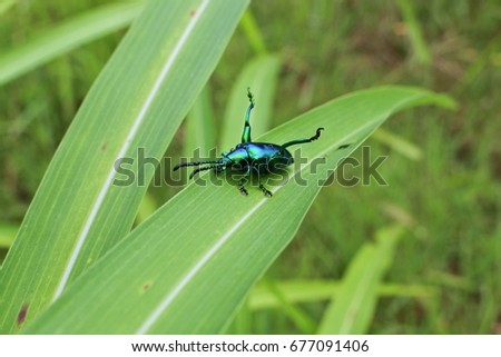 Green beetle is happy on the grass, Thailand