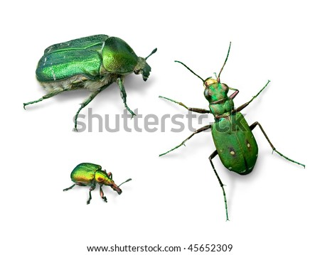 Green beetles (Rose chafer, Green tiger beetle, Leaf roller beetle) - stock photo