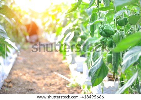 Green bell peppers in the garden.