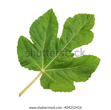 Green big fig leaf isolated on white background - stock photo