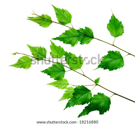 green birch branch isolated over white