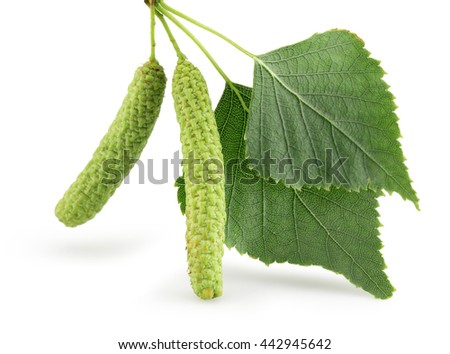 green birch buds isolated on the white background - stock photo