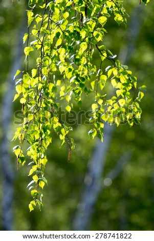 green birch leaves against the sun - stock photo