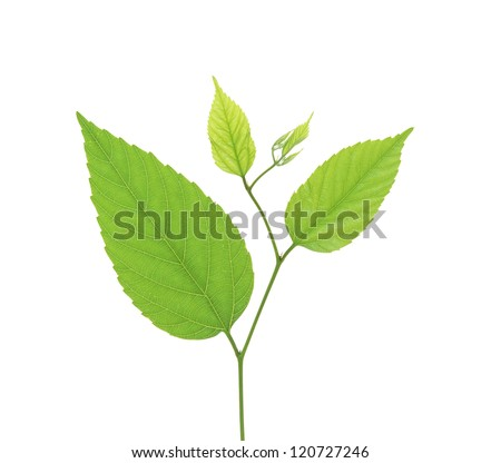green birch leaves isolated on white background - stock photo