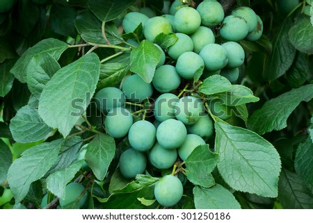 Green blackthorn berries on a branch in a garden at the stage of maturation - stock photo