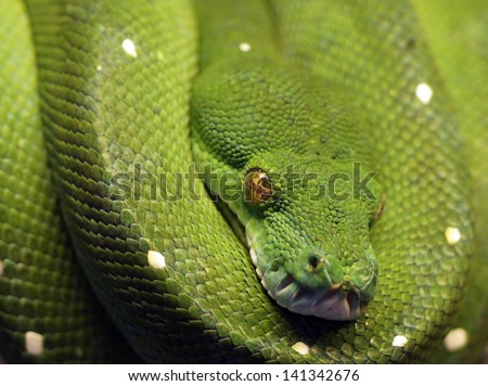 Green boa - stock photo