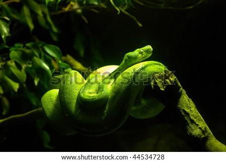 Green Boa Snake - stock photo